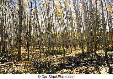 Aspen Mania - Grove of aspen trees with many shapes and...