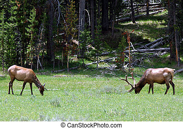 Deer - A buck and doe grazing in a meadow in yellowstone.