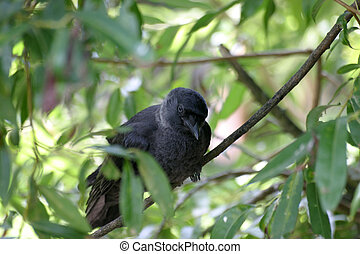 Jackdaw - Black jackdaw in a tree