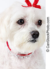 Maltese Terrier Face - Portrait of an attentive white...