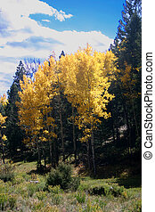 Aspens and Pines - Bright gold of aspens in Autumn contrasts...