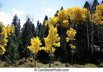 Aspen Grove - Golden aspen trees surround high mountain...