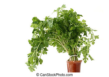 fresh parsley in vase - isolated
