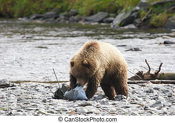 Bear tearing a backp - Grizzly bear tearing a backpack