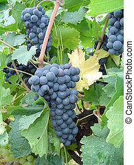 Black color grape - Sweet juicy smooth fruit Photo is taken...