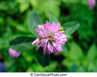 Clover flower - The foto of clover flower in Russia, in the...
