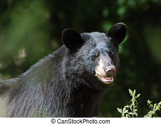 Black Bear foraging near Algonquin Provicial Park in...