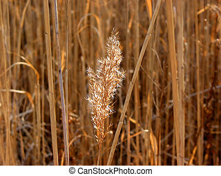 Dry grass reed sunlit - Dry reed flower backlit with winter...