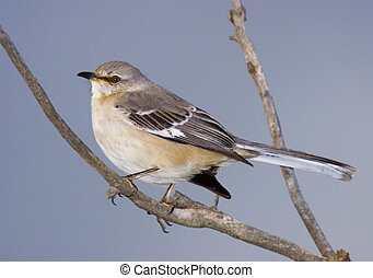 Mock me not - Northern Mockingbird, Mimus polyglottos