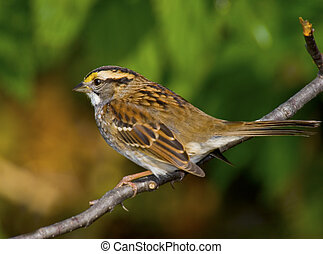 Not just a sparrow - White-throated Sparrow