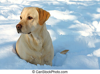 Labrador and Snow - Labrador enjoying the snow