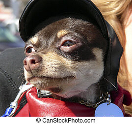 Harley Baby - Baby Dachshund dressed as a motorcycle rider