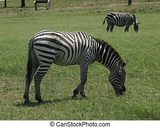 Zebra herd - Zebras grazing in a field.