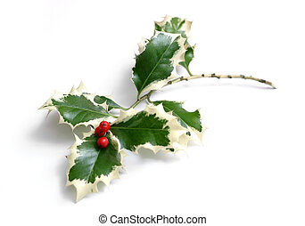 Holly with red berries on white background
