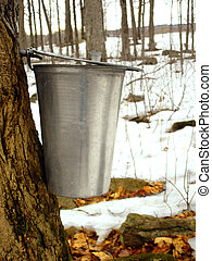 Making maple syrup. - Making maple syrup: the sap is still...