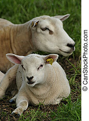 Sheep and lamb - Sweet picture of sheep and lamb