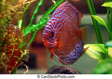Discus fish in a tank