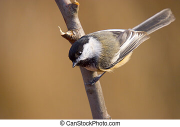 Where is food? - Black-Capped Chickadee, Poecile atricapilla