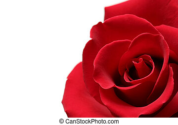 red rose for valentines day shot over white, macro with...