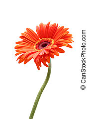 rising daisy - gerbera daisy closeup with limited depth of...