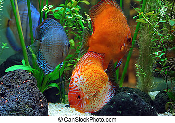 Diskus fish in a tank