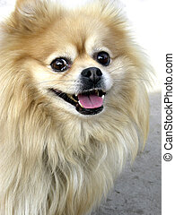 Happy Pomeranian - Pomeranian out for a stroll on a sunny...