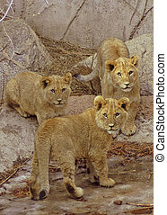 Three Lion Cubs - Three Cubs Born at Cheyenne Mountain Zoo,...
