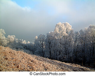 Frosty woodland trees - Silver Birch trees with a heavy...