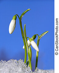 white snowdrop - Close-up of white snowdrop flower on first...