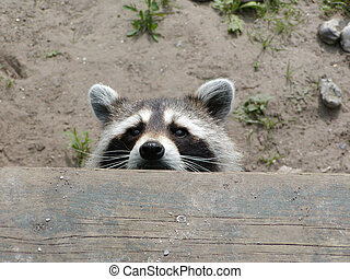 Raccoon Peeking - A raccoon is peeking over the edge