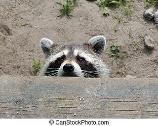 Raccoon Peeking - A raccoon is peeking over the edge