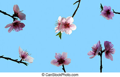 Peach blossom - Multiple peach flowers