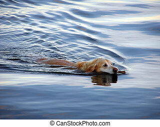swimming dog - dog swimming in a lake, bringing back a stick