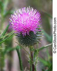 Thistle - Close up of a Scottish thistle