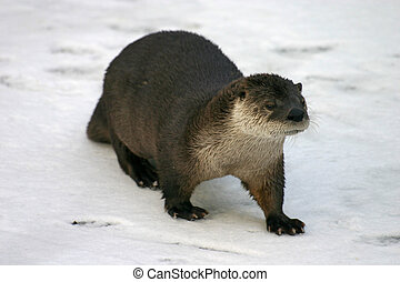 River Otter on snow