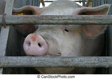 Pig - Muzzle from a pig
