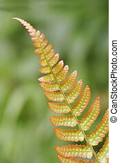 Red Edges Fern - A fern leaf with red edges shot against a...