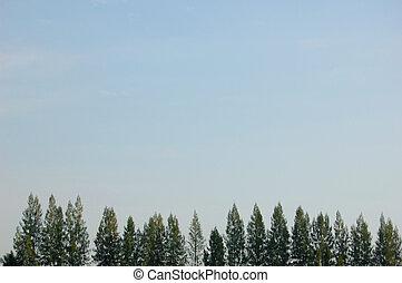 Casurina tree fringe - Tops of casurina trees and sky
