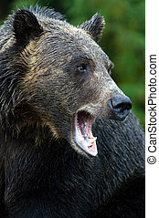 Grizzly bear - Wet bear in British Columbia