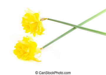 Two Daffodils on White Background