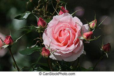 Roses - Rose garden