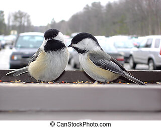 Birds in the parking - Two chickadees in front parking