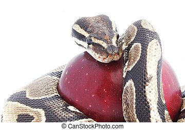 Snake and Apple - Snake and red apple; temptation concept