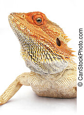Bearded Dragon - Orange headed bearded dragon