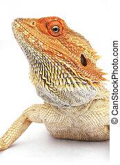 barbudo, dragón