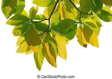 Backlit leaves with clipping path