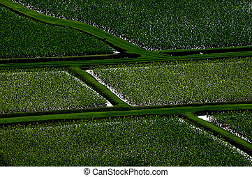 taro fields - block pattern of flodded taro fields in...