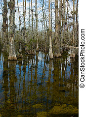 Everglades swamp - Cypress, swamp