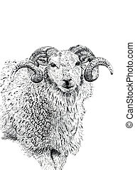 The Ram - Pen and ink hand drawn illustration of the face...