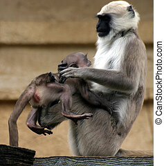 Hanuman langurs - mother playing with baby